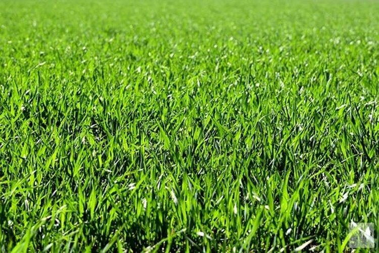 Het gras bij de buren